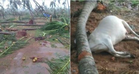 #CycloneTitliSome animals were killed at Srikakulam District